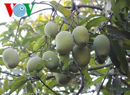 Les mangues de Yen Chau sont desormais protegees hinh anh 1