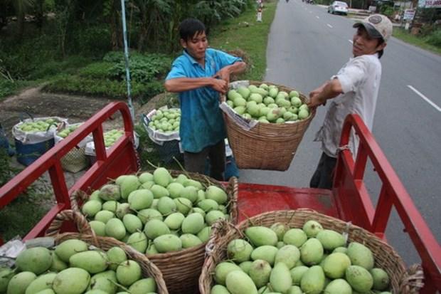 L'Australie autorise l'importation de mangues fraiches du Vietnam hinh anh 1