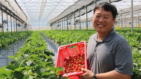 Des fraises coreennes cultivees au Vietnam hinh anh 1