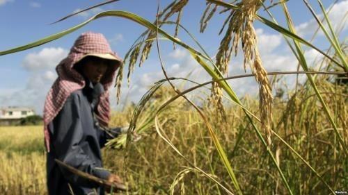 Le Cambodge construira de nouveaux entrepots de riz hinh anh 1