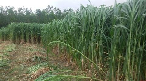 Pour la durabilite de la culture de la canne a sucre hinh anh 1