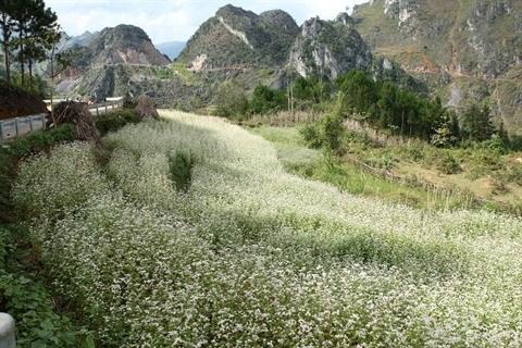 Ouverture de la 2e fete des fleurs de sarrasin a Ha Giang hinh anh 1
