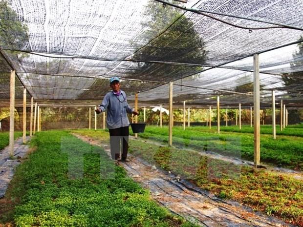 Aides japonaises pour la culture de la menthe a Binh Thuan hinh anh 1