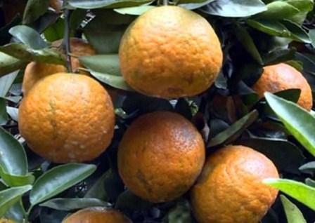 Certificat d'indication geographique pour l'orange a pelure rugueuse de Ha Giang hinh anh 1