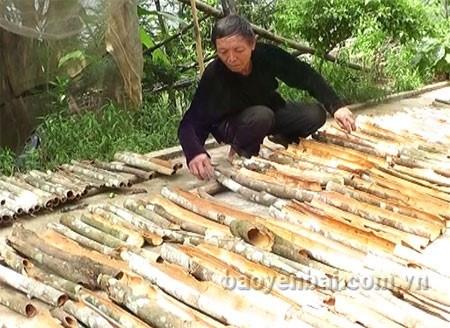 Les canneliers font la prosperite de Yen Bai hinh anh 2