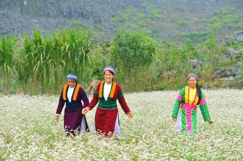Ha Giang seduit les touristes pendant la floraison des fleurs de sarrasin hinh anh 1