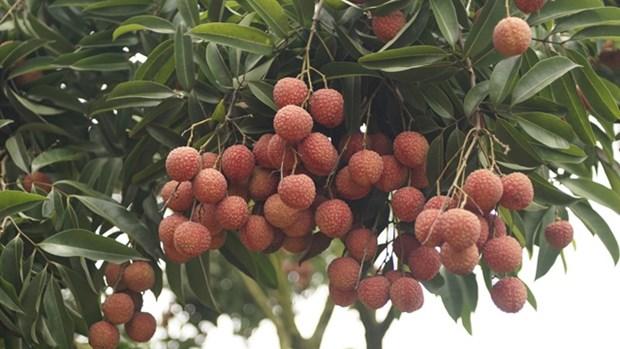 Bac Giang : bientot la Fete des fruits de Luc Ngan hinh anh 1