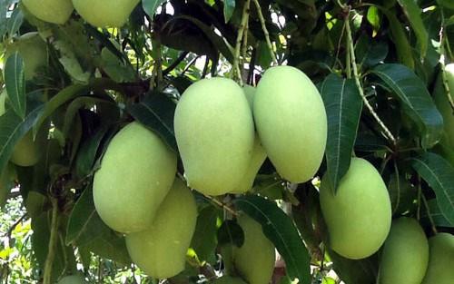 Le Vietnam exporte plus de 10.000 tonnes de fruits frais vers des marches exigeants hinh anh 1