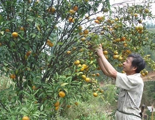 Cao Bang : enregistrement d'une marque collective pour la mandarine de Tra Linh hinh anh 1