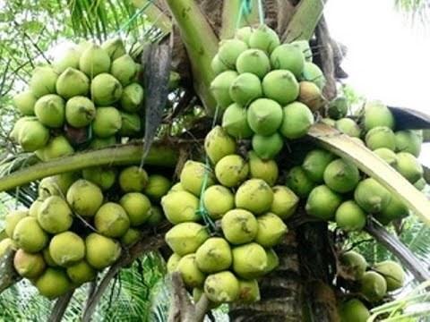 Tra Vinh aide ses PMEs a ameliorer la valeur des produits a base de cocotier hinh anh 1