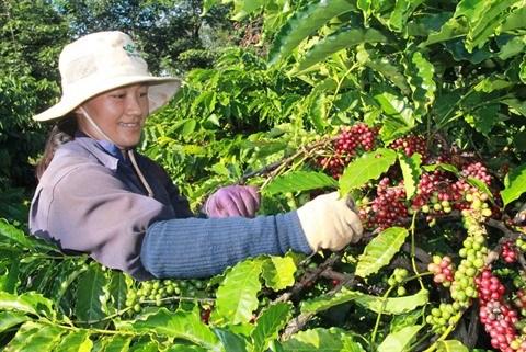 Des mesures pour developper la cafeiculture hinh anh 1