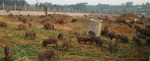 Elever et acheter des sangliers en ligne : une solution pour l'alimentation bio hinh anh 1