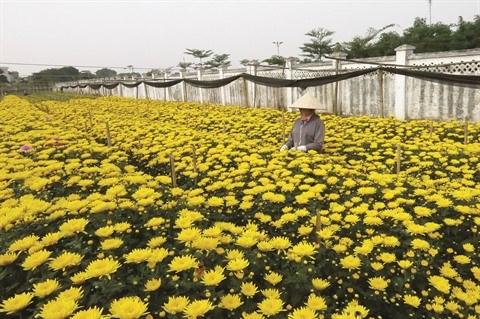 Au village de Tay Tuu, la fleur est reine hinh anh 1