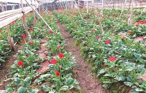 Au village de Tay Tuu, la fleur est reine hinh anh 2