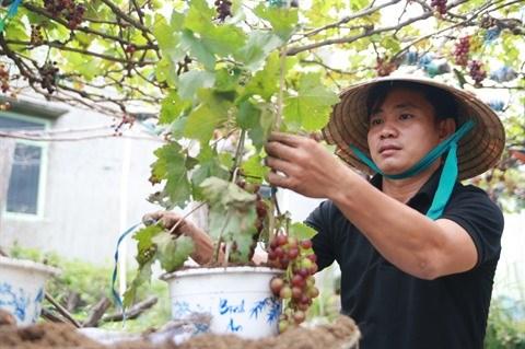 Apparition de vignes ornementales sur le marche du Tet hinh anh 1