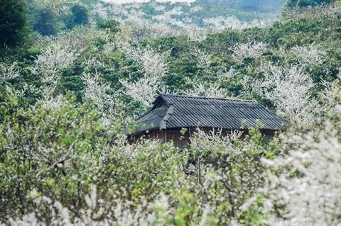 Moc Chau en saison des fleurs hinh anh 3