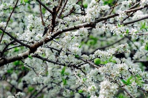 Moc Chau en saison des fleurs hinh anh 4