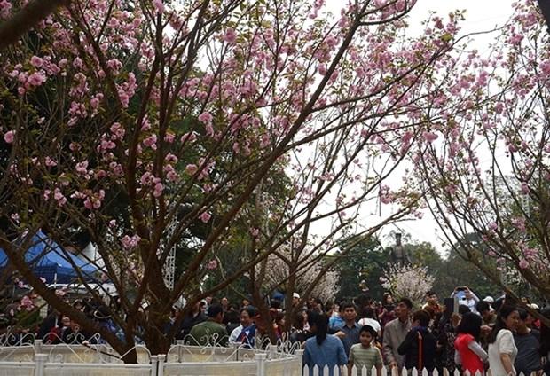 Fete des cerisiers en fleurs au bord du lac Hoan Kiem hinh anh 1