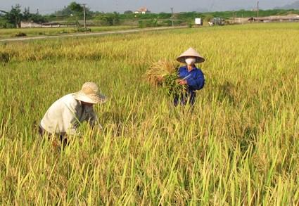 Production de riz: le Vietnam dans le top 5 mondial hinh anh 1