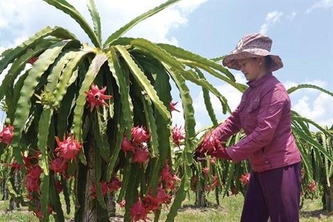 De nouvelles perspectives pour le fruit du dragon de Binh Thuan hinh anh 2
