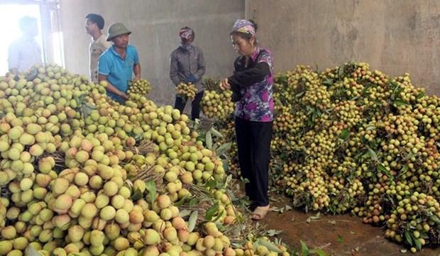 Bac Giang va exporter la moitie de sa production de litchi hinh anh 1