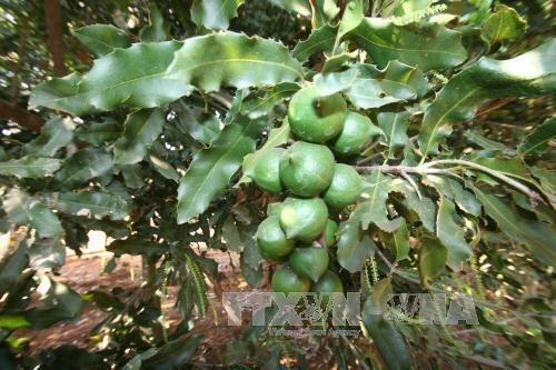 Quang Tri cherche a developper la culture du macadamia hinh anh 1