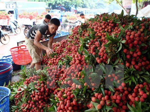 Bac Giang exporte plus de 9.500 tonnes de litchis en Chine hinh anh 1
