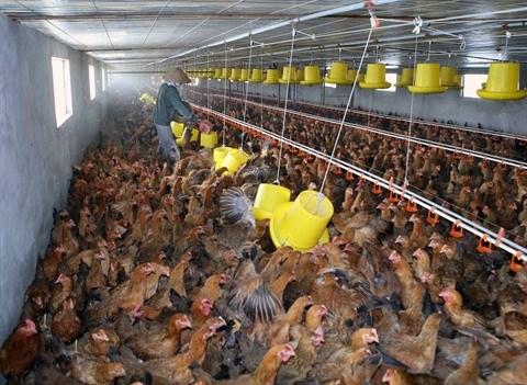 Le premier lot de viande de poulet sera exporte vers le Japon en aout hinh anh 1