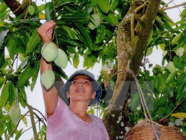 Une compagnie vietnamienne exporte 5 tonnes de mangues vertes en Australie chaque semaine hinh anh 1