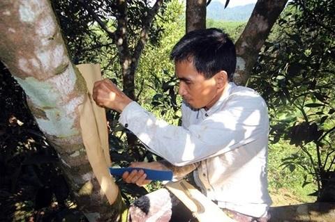 Des canneliers seculaires, joyaux de la montagne de Ngoc Linh hinh anh 1