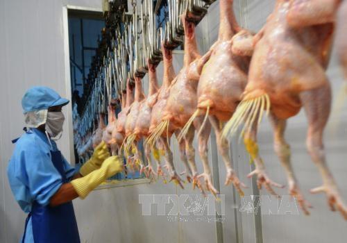 Le Vietnam projette d'exporter la viande de poulet en Union europeenne hinh anh 1