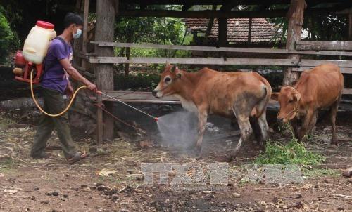 Le Vietnam va produire des vaccins contre la fievre aphteuse l'annee prochaine hinh anh 1