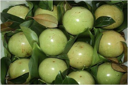 Les pommes de lait de Tien Giang vont bientot faire leur apparition aux Etats-Unis hinh anh 1