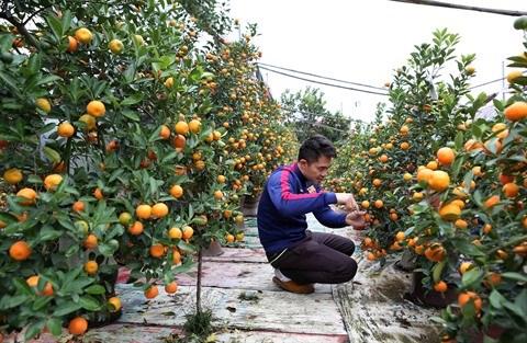 Les marches des kumquats s'agitent avant le Tet hinh anh 1