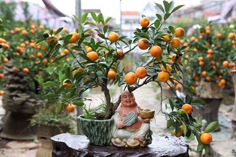 Les marches des kumquats s'agitent avant le Tet hinh anh 3