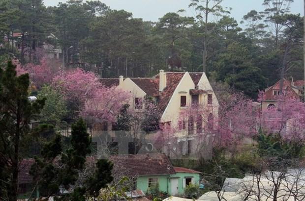 Bientot un Festival des fleurs de cerisiers Da Lat hinh anh 1