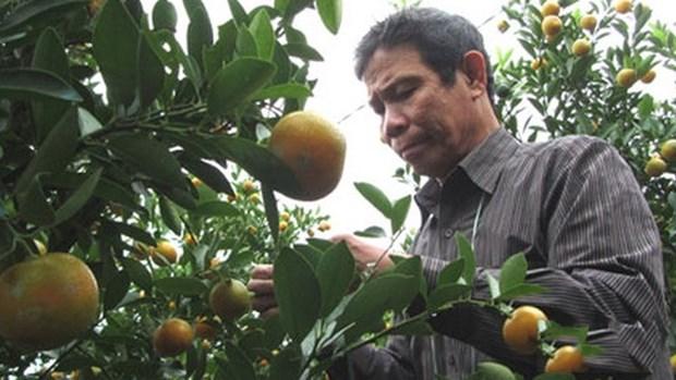 Bientot la fete des kumquats 2018 a Hoi An hinh anh 1