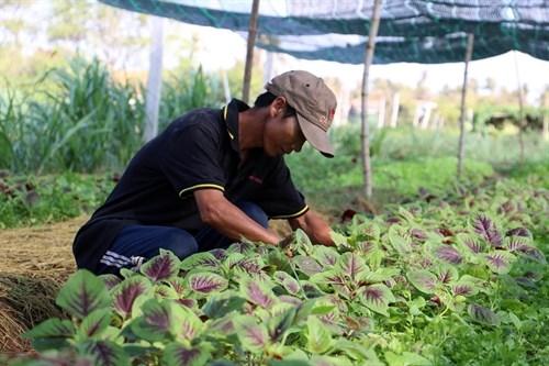 Le Japon finance un projet d'agriculture bio a Ben Tre hinh anh 1