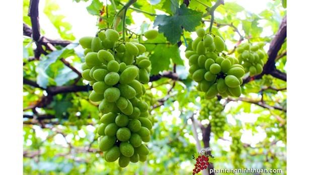 Ninh Thuan mise sur les vastes exploitations pour developper la viticulture hinh anh 1