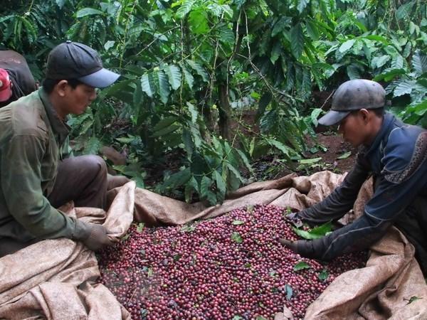 Vietnam et Indonesie veulent impulser leur cooperation dans le secteur du cafe hinh anh 1