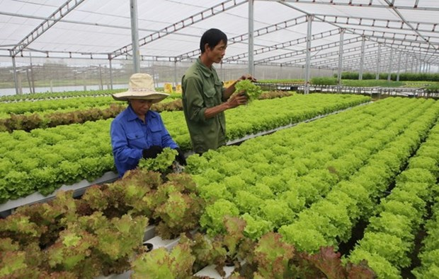 Culture hydroponique bio: le Vietnam transfert des technologies a Singapour hinh anh 1