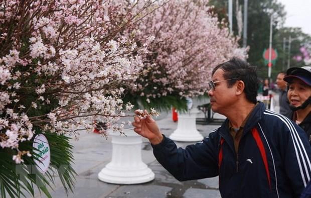 Environ 7.000 branches de cerisier japonais seront exposees a Hai Phong hinh anh 1