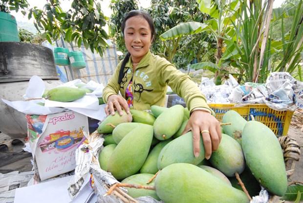 An Giang: un premier lot de mangue tricolore expedie en Australie hinh anh 1