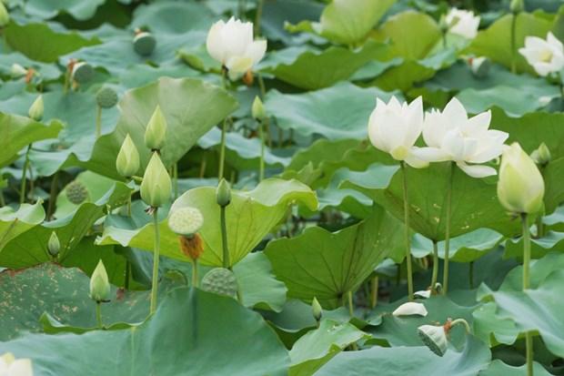 Une variete precieuse de lotus blancs se developpe a Dai Noi hinh anh 2