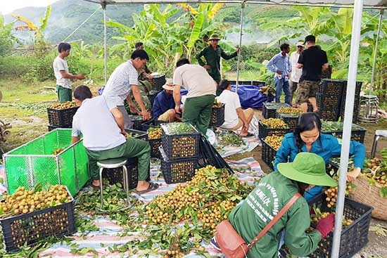 Les 40 tonnes de longanes de Song Ma expediees vers la Chine hinh anh 1