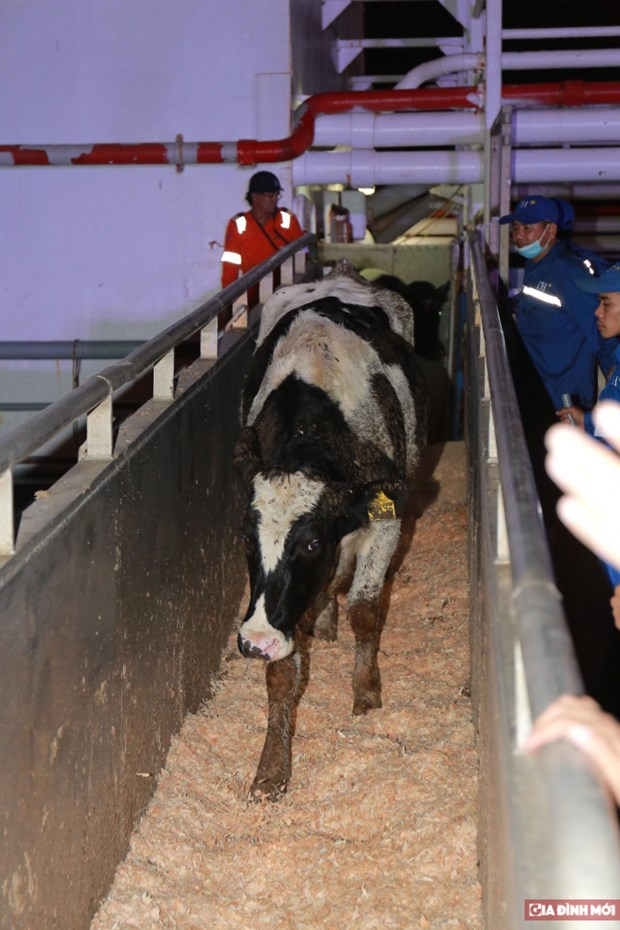TH importe pres de 1.800 vaches laitieres des Etats-Unis hinh anh 1