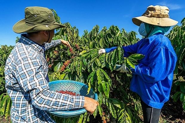Le cafe vietnamien cherche a conquerir le marche mondial hinh anh 1