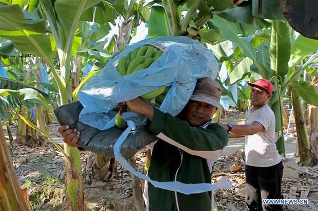 COVID-19 : Les producteurs de bananes des Philippines eprouvent des difficultes hinh anh 1