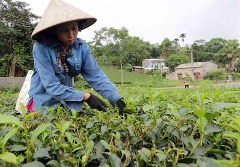 Vers le developpement durable de la theiculture de Phu Tho hinh anh 2