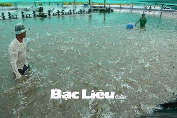 Bac Lieu compte porter a 60.000 ha le modele de peneiculture en association avec le riz hinh anh 1